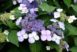 hortensias enfermedades Hortensias Plantamus Viveros Online