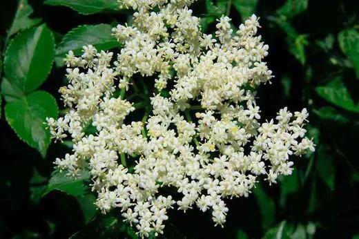 la flor de sauco es buena para la tos