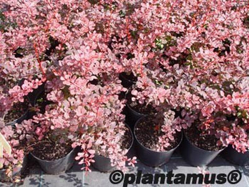 Berberis Planta
