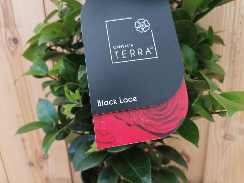 "Compra online Camelia japonica ""Black lace"" al mejor ..."