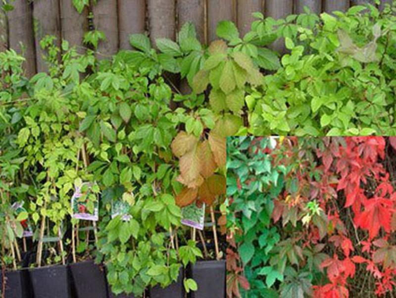 ✔️Parra virgen, Parthenocisus quinquefolia, ¡Cómpra online! — Plantamus  viveros online